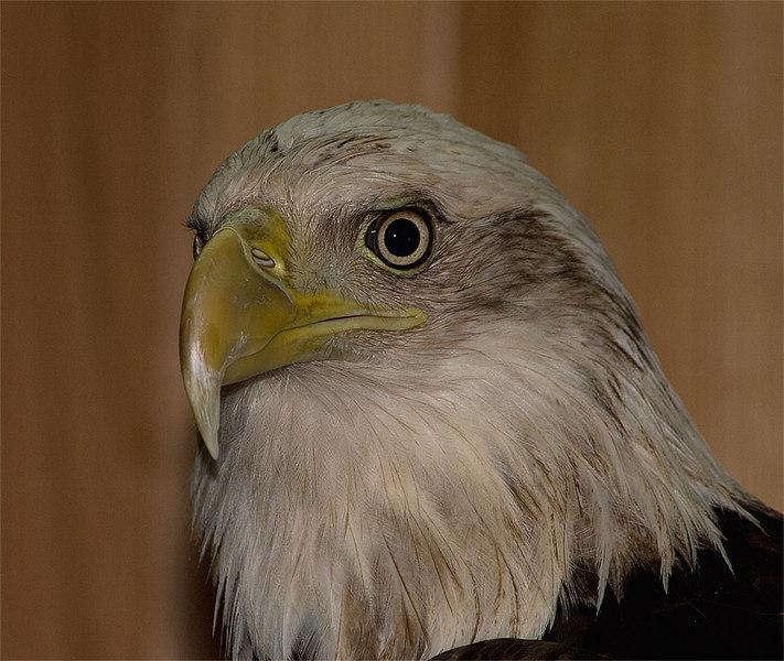Bald eagle (Great Salt Plains captive)