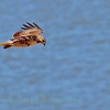 Red-tailed hawk (35)