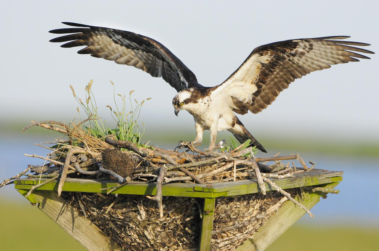 Osprey Mother Landing on a Nesting Platform