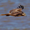 Red-tailed hawk (65)
