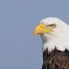 Bald Eagle (309)