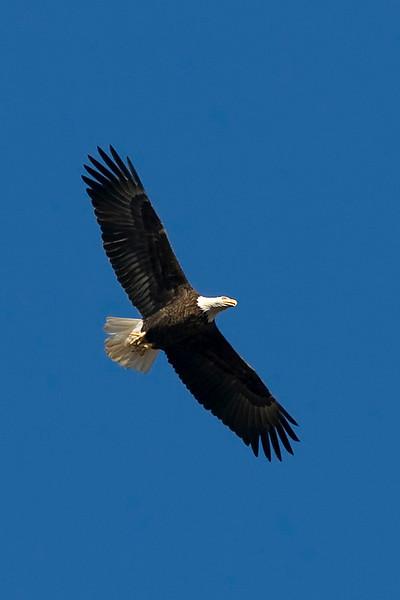 eagle18