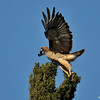 This is one photograph, of seven photographs presented, of a Red-tailed Hawk being harassed by a crow and taking flight off the top of a Cypress tree.