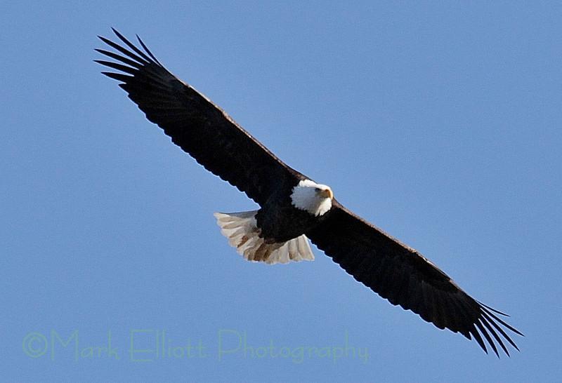 Bald Eagle (216)