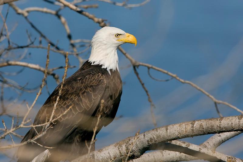 Bald eagle (Lake Canton)