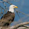 Bald eagle (Lake Canton)