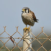 An American Kestrel (female) perched on a fence after just finishing eating a potato bug
