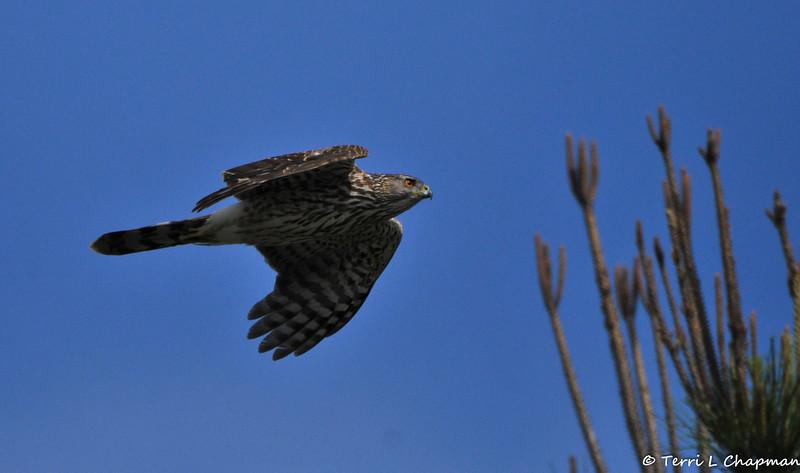 A juvenile Cooper's Hawk in flight