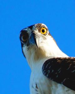 Eyes of an Osprey
