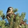 Swainson's Hawk (58)