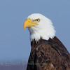 Bald Eagle (313)