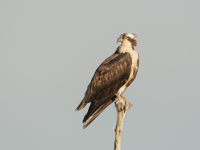 Osprey Perched in a Snag