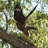 Red-shouldered Hawk taking flight