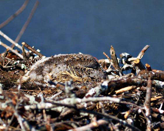 Baby Osprey