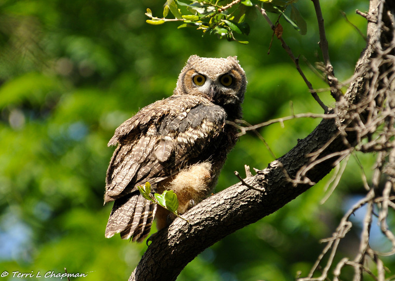 Great Horned Owl (juvenile) perched in a Southern Live Oak tree