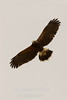 Hawk in flight v