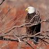 Bald Eagle (301)
