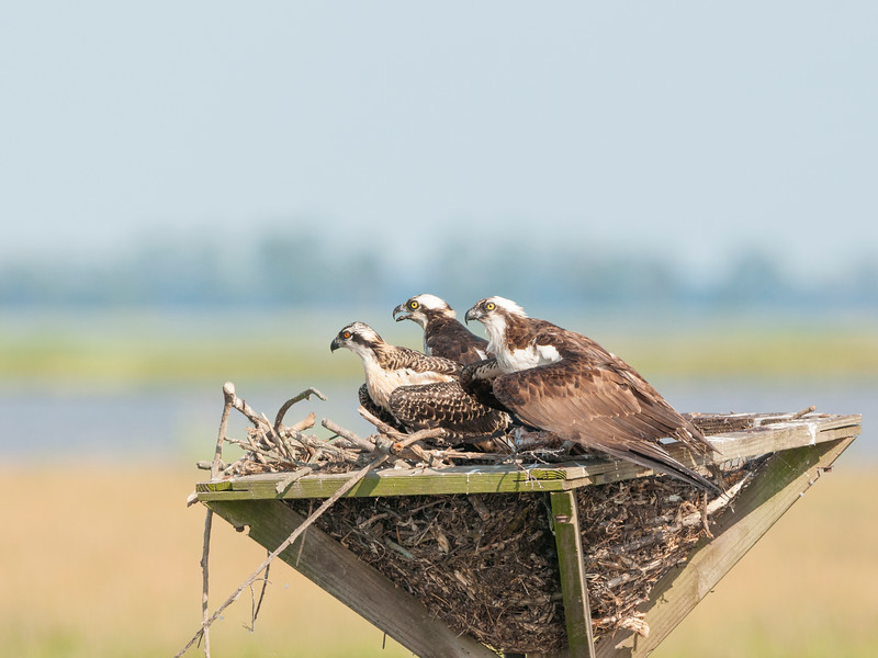 Osprey Pair with Chick
