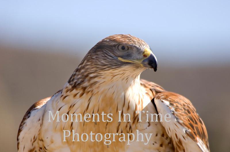 Feruginous hawk close