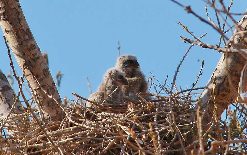 Great Horned Owlet (16)