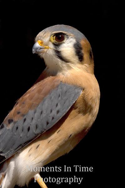 Kestrel (Falco sparverius)