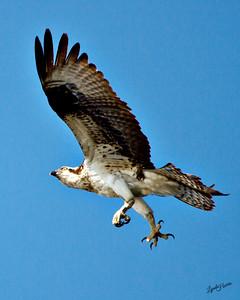 Osprey claws