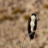 Osprey (26)