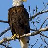 eagle27