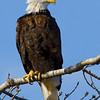 eagle28