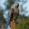 Red-tailed Hawk perched on a sign post