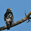 Mississippi Kite (21)