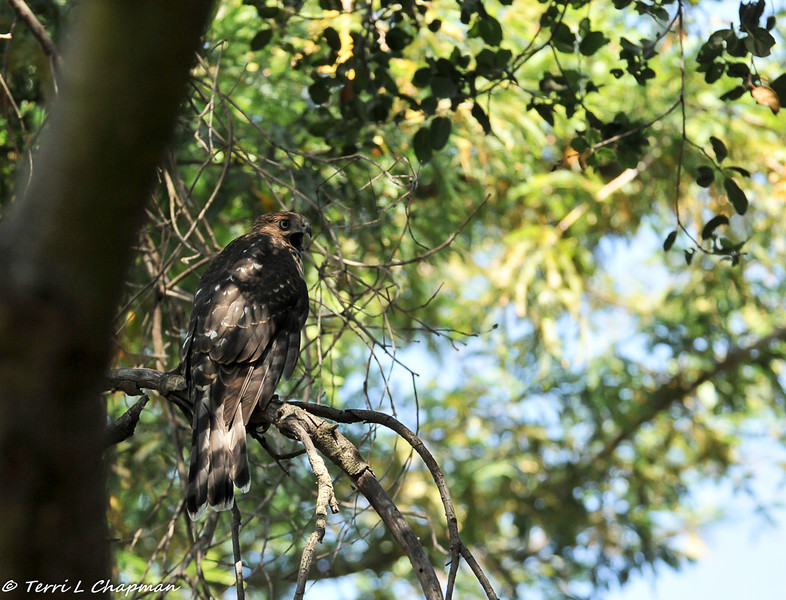 Cooper's Hawk (juvenile) calling to his mother who was close by