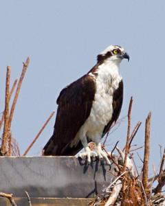 Osprey nest sittting