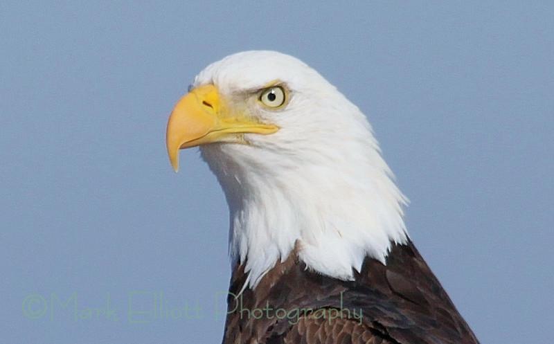 Bald Eagle (320)