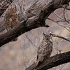 Great Horned Owl (7)