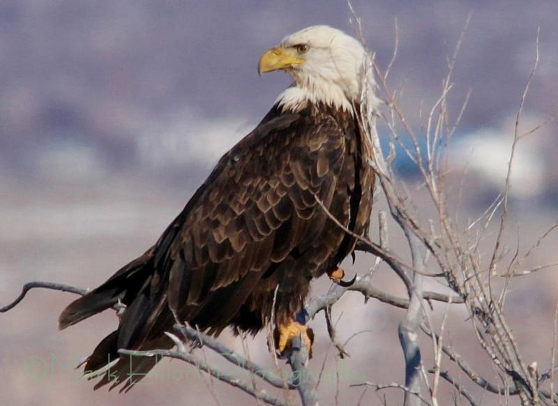 Bald Eagle (51)