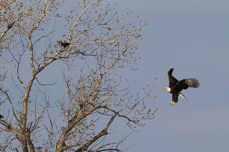 Bald eagle Lake Hefner