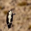 Osprey (28)