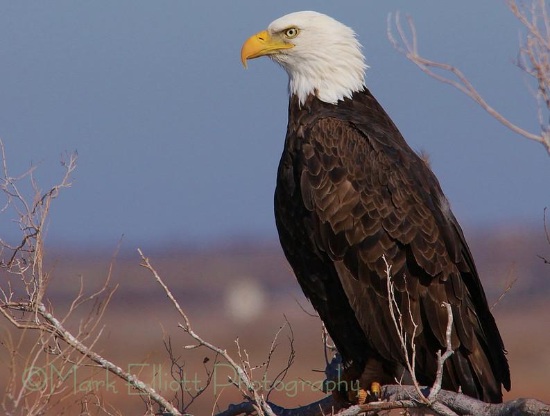 Bald Eagle (316)