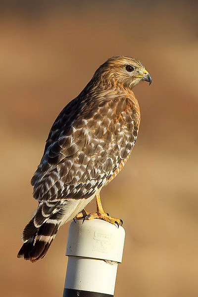 red-shouldered-hawk20