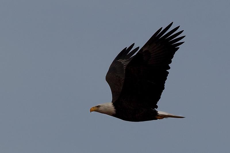 eagle40
