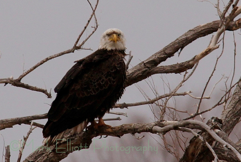 Bald Eagle (283)
