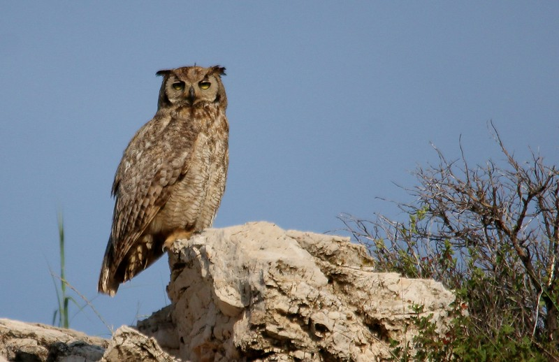 Great Horned Owl (80)
