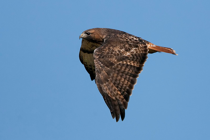 red-tailed-hawk5
