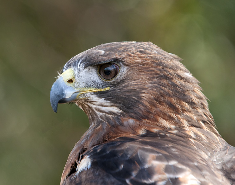 Red-Tailed Hawk - (Captive)