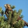 Swainson's Hawk (64)