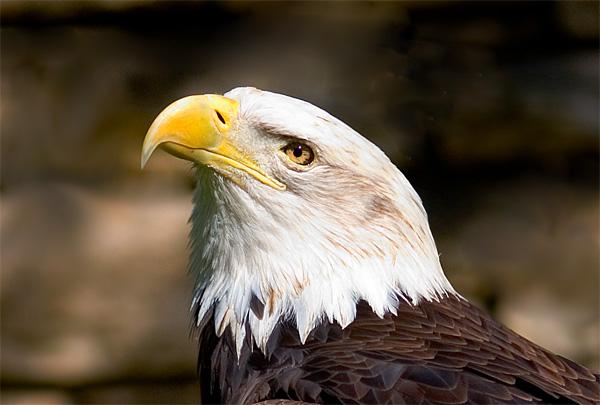 Bald eagle (San Antonio Zoo)