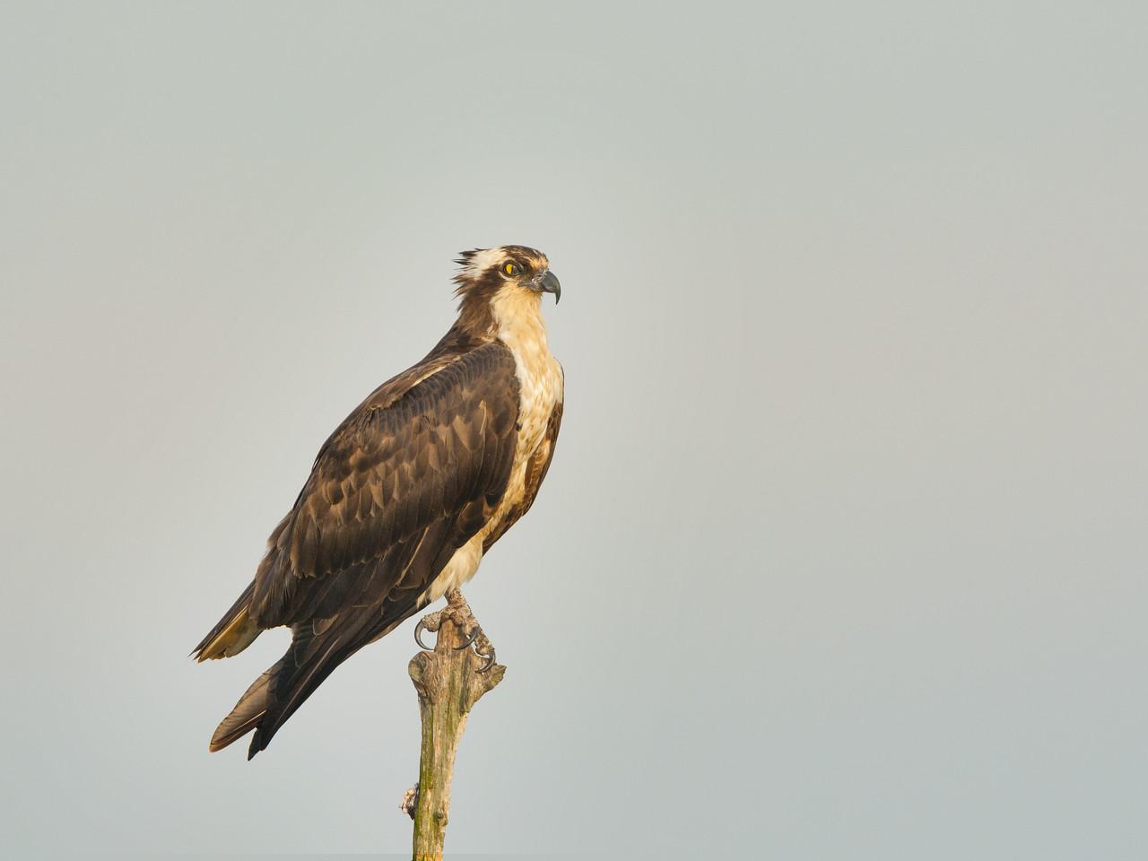Osprey Perched in a Snag