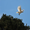 A Partial Albino Red-tailed Hawk in flight.  This beautiful and unique bird was photographed in Valyermo, CA in February 2013. Although this hawk has all white feathers, a true albino bird would have a pink iris and this particular bird has a light yellow iris.