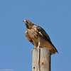 A Red-tailed Hawk perched on a telephone pole and searching the sky for a meal